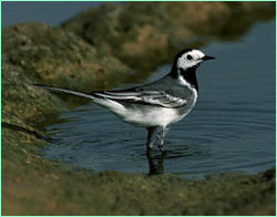 Water Wagtail